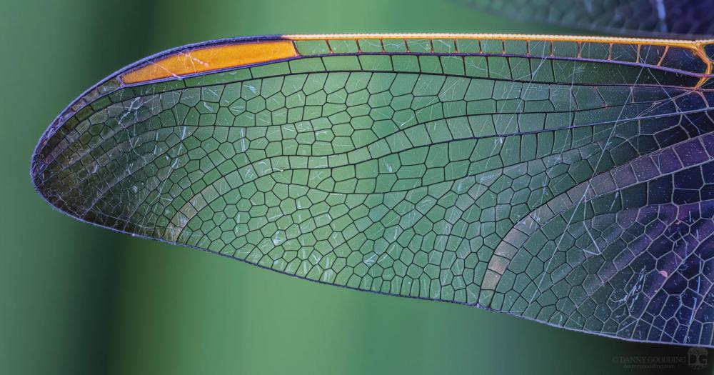 dragonfly wing.jpg