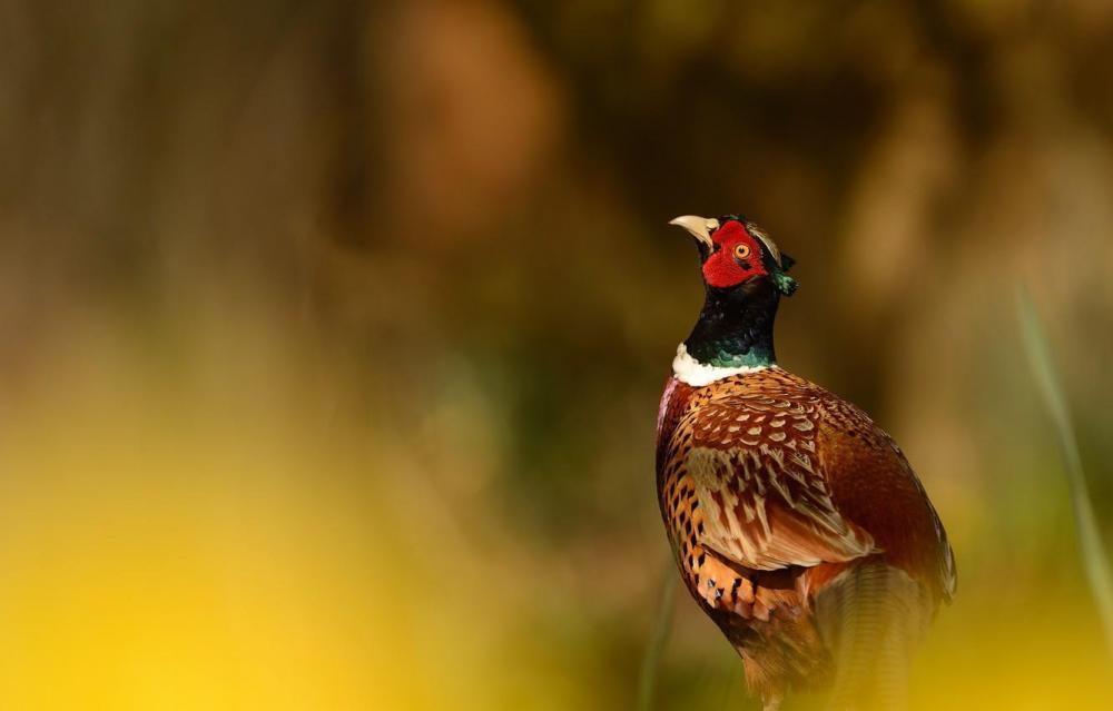 fazan-ptitsa-priroda.jpg