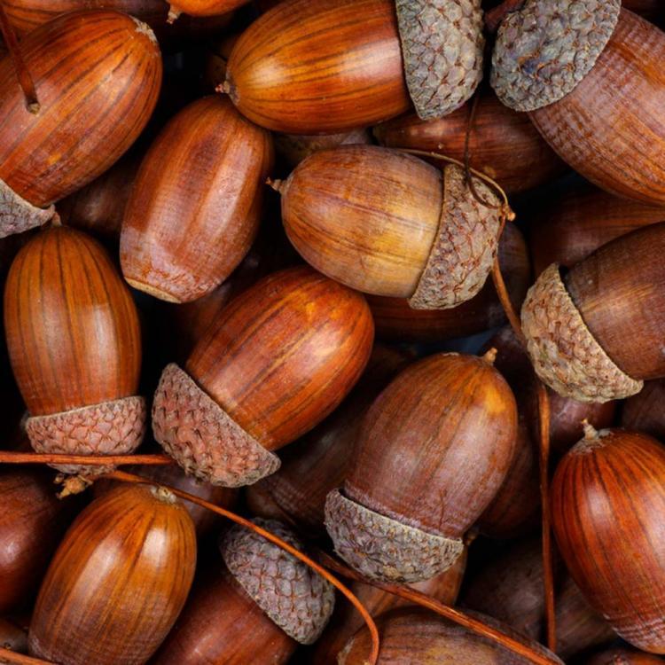 shutterstock_740027464-acorns.jpg