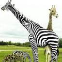 StripedGiraffe