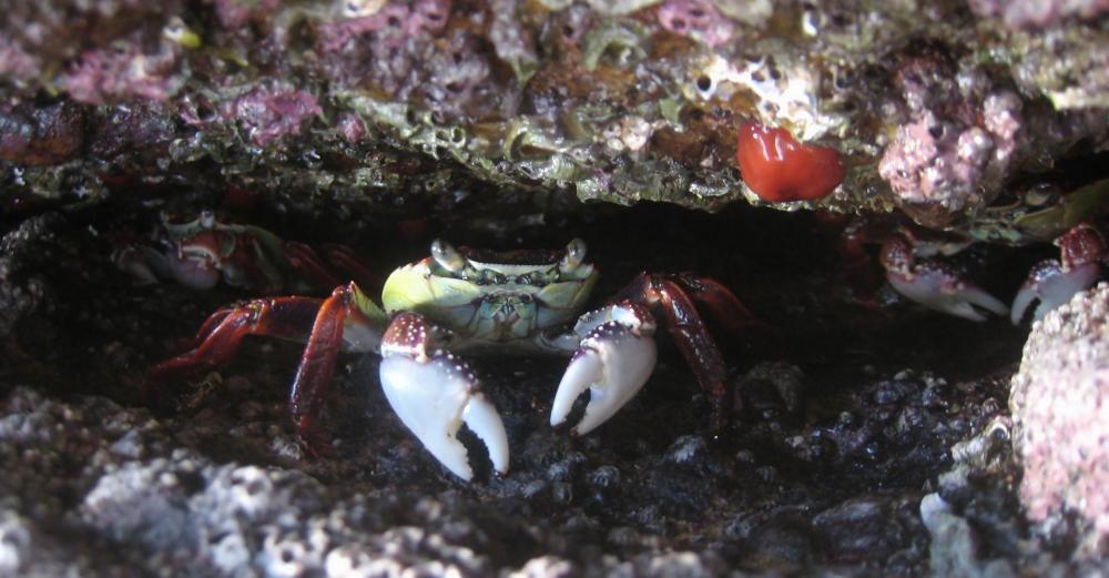 Purple_rock_crabs_(Leptograpsus_variegatus)_lurking_in_a_crevice_under_Lion_Rock.jpg
